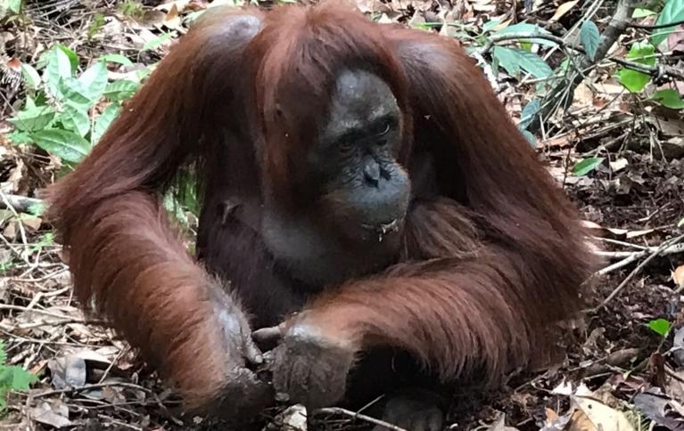Orang-utans of Borneo
