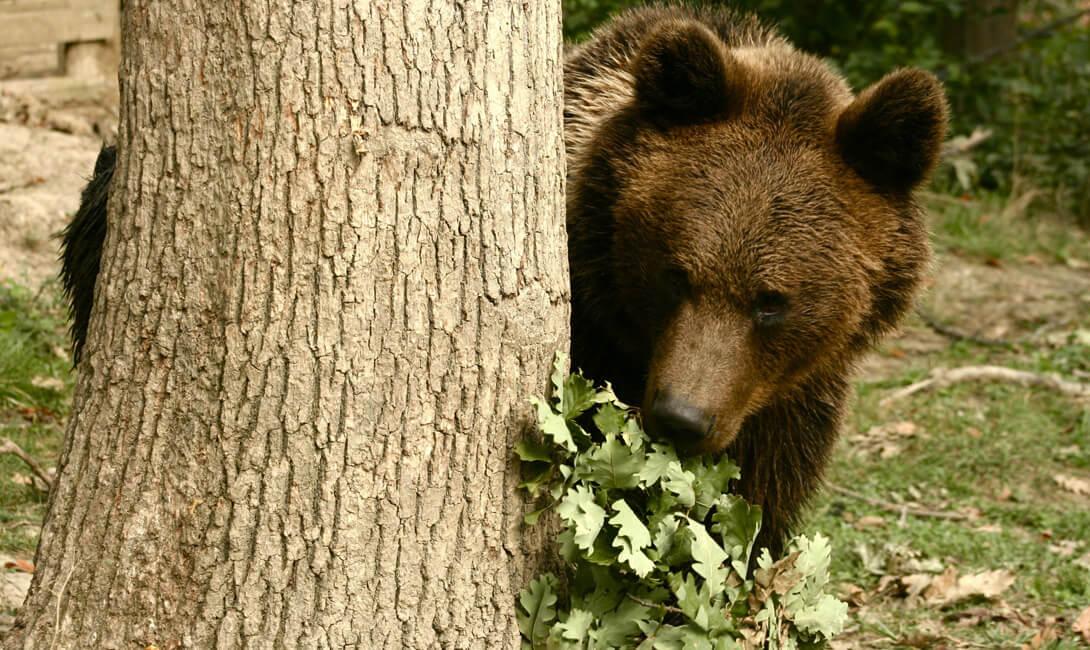 Transylvannia Bears