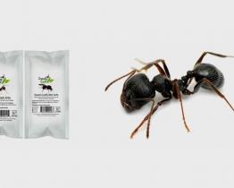 Wild Black Ants