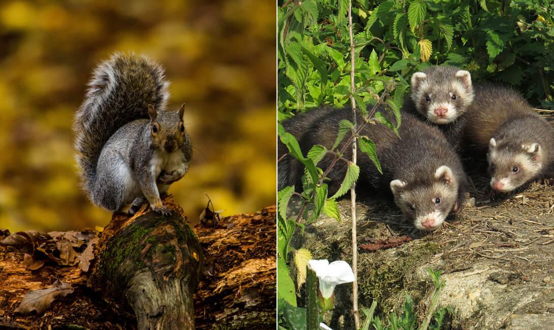 Polecat and Squarrels