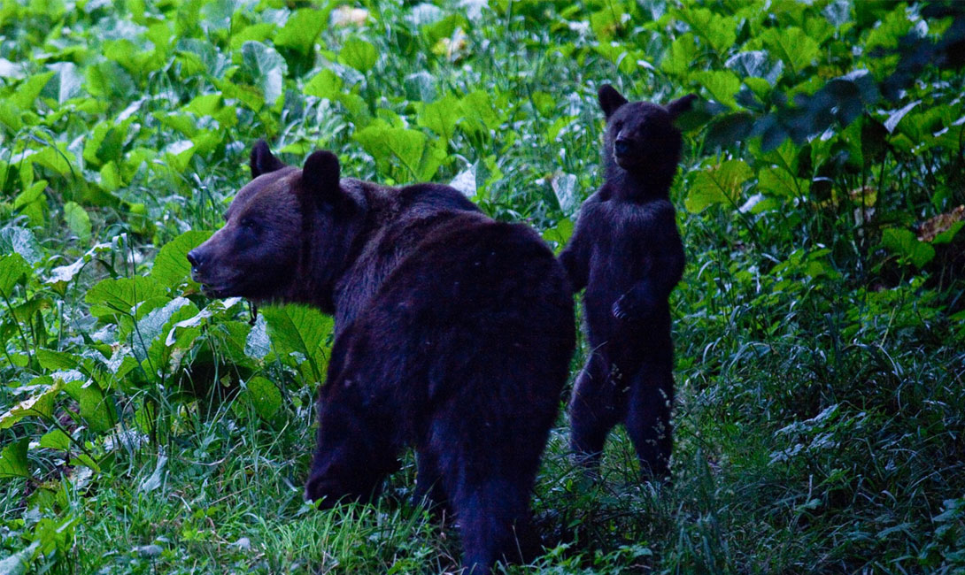 Bears out in the evening.
