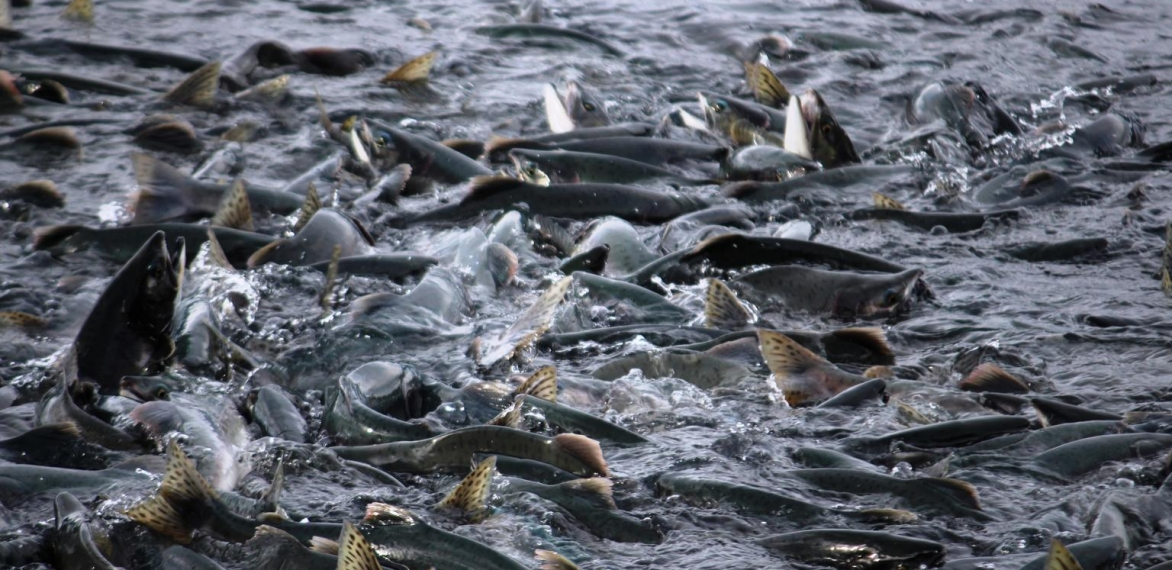 Salmon – A Red Herring